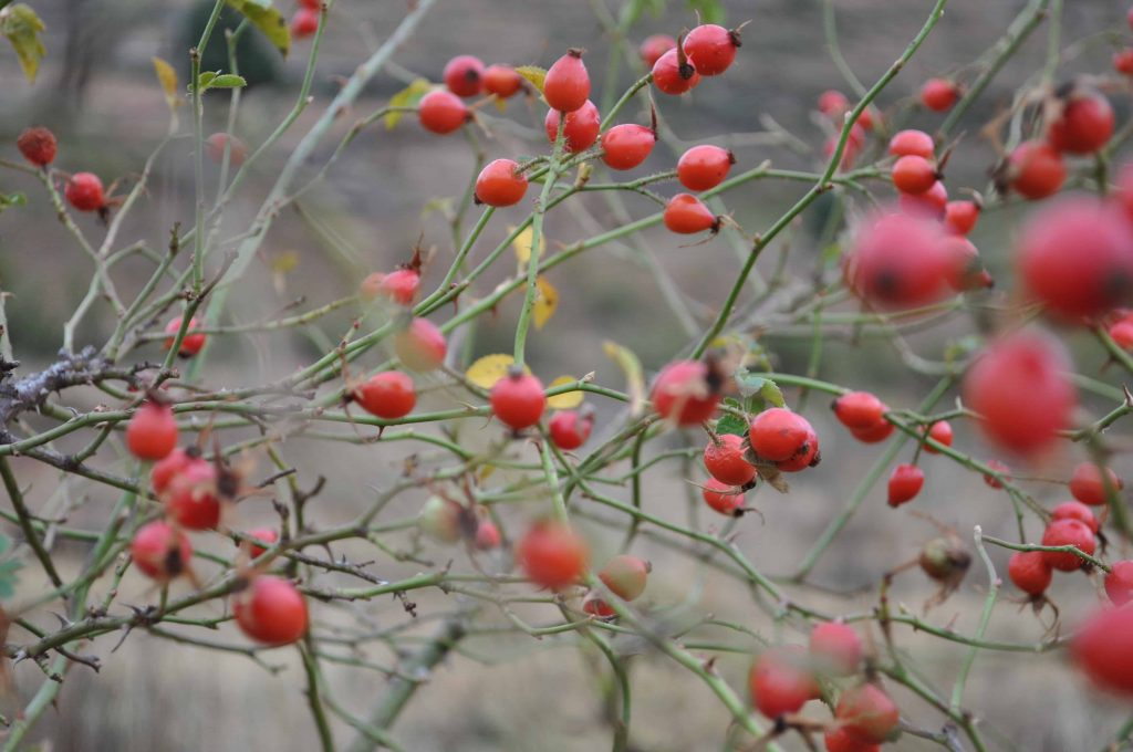 Extracting Rosehip Oil - Learn more about our method