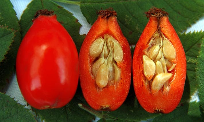Rosehip fruit, skin and seed